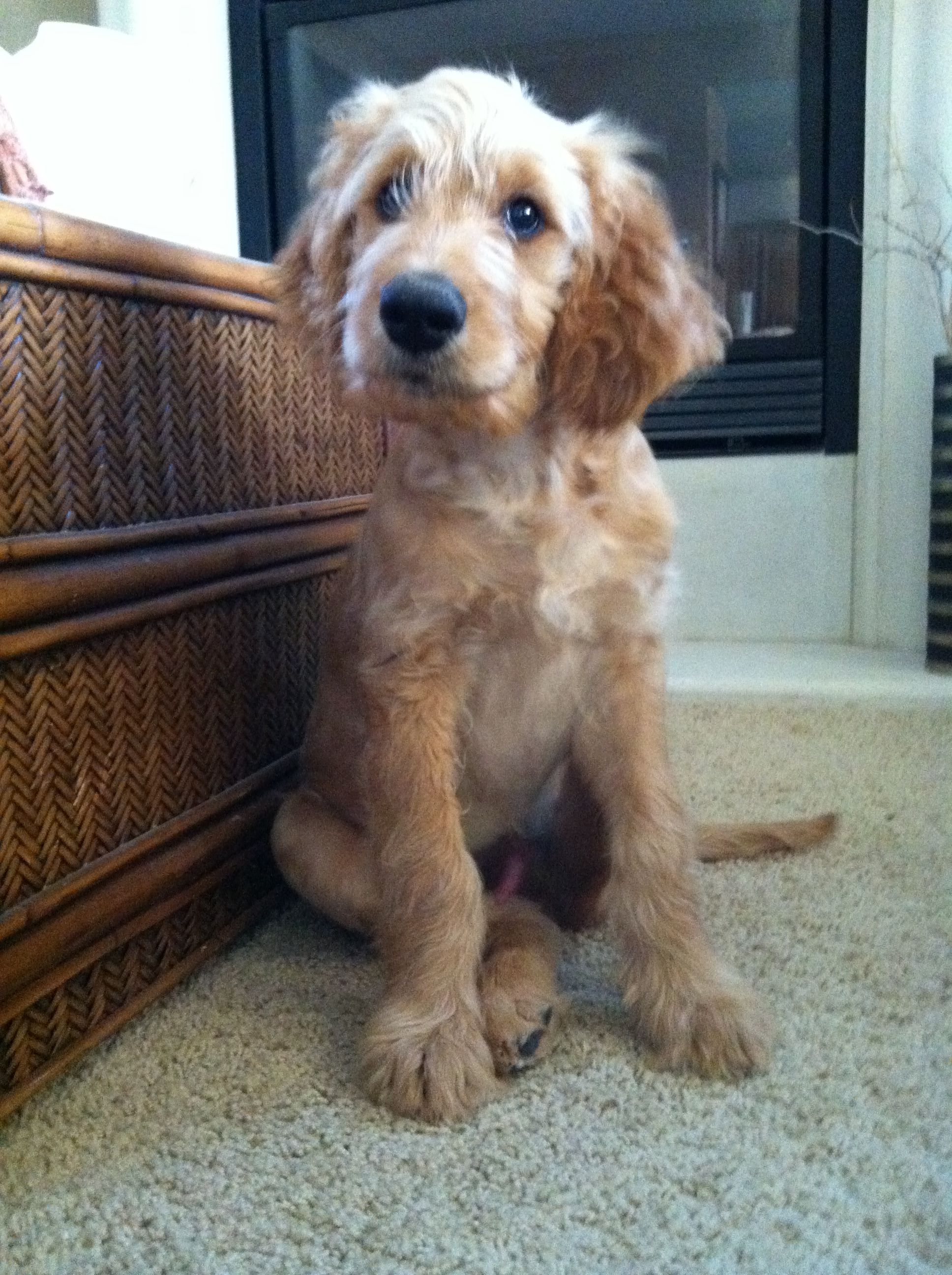 Our Goldendoodle Gunner At 13 Weeks Old My How They Grow