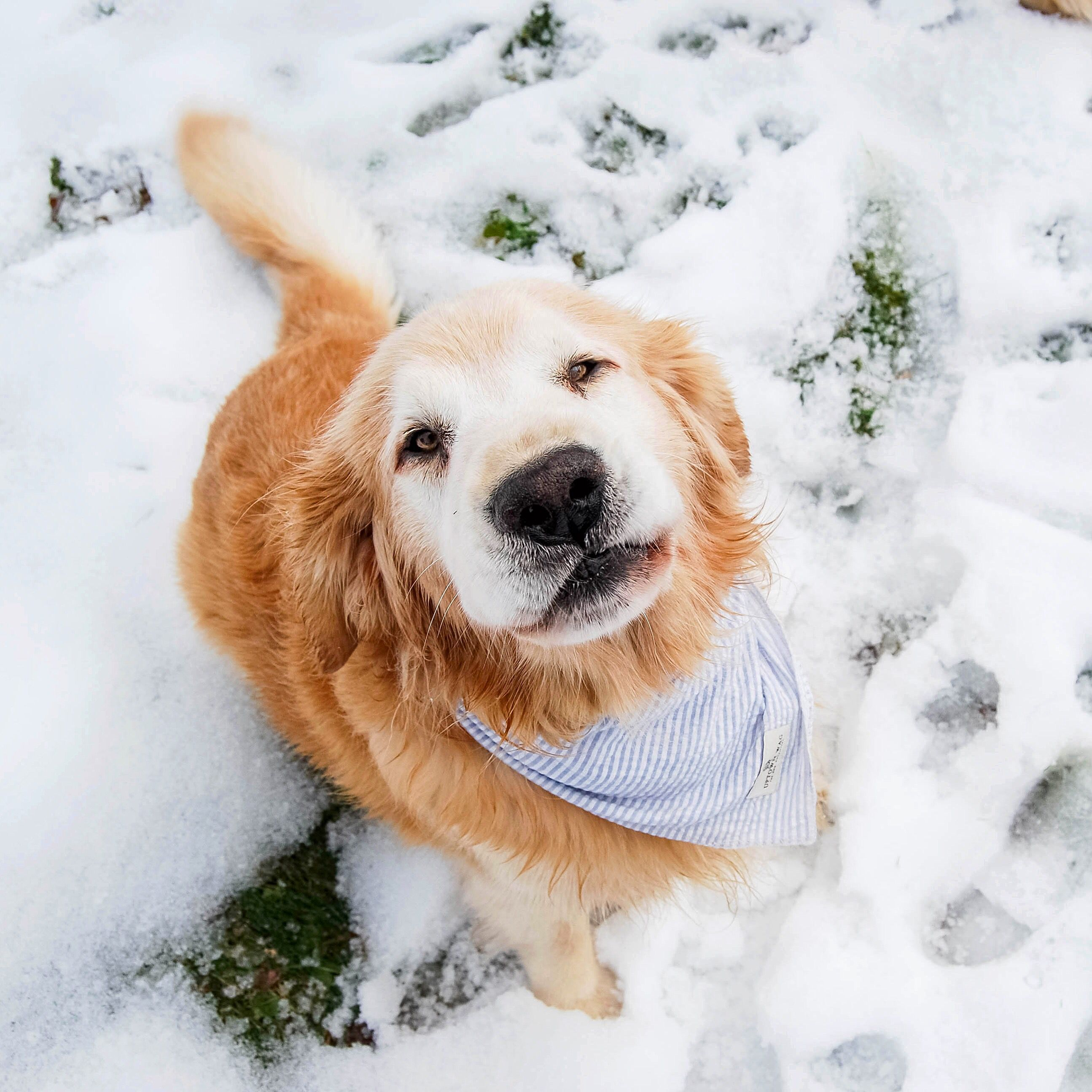 Handsome Golden Retriever Snow Dogs Animals Beautiful Dog Lady
