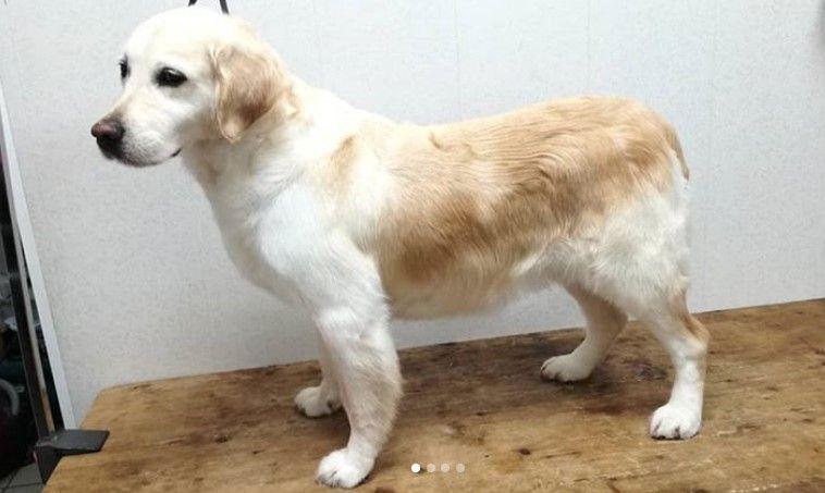 Golden Retriever Haircut Female Golden Retriever Dog Haircuts