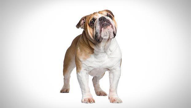 Bulldog Dog Breed Selector Bulldog Puppies Dog Breeds