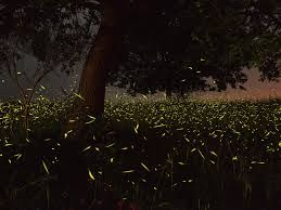 Image result for fireflies in oregon