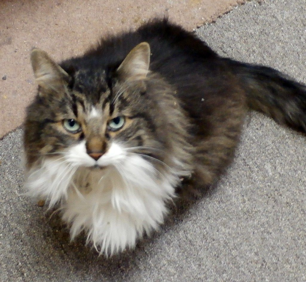 Found Male Cat Brown Tabby With White Longhair White Tabby Cat Cats Cat Background