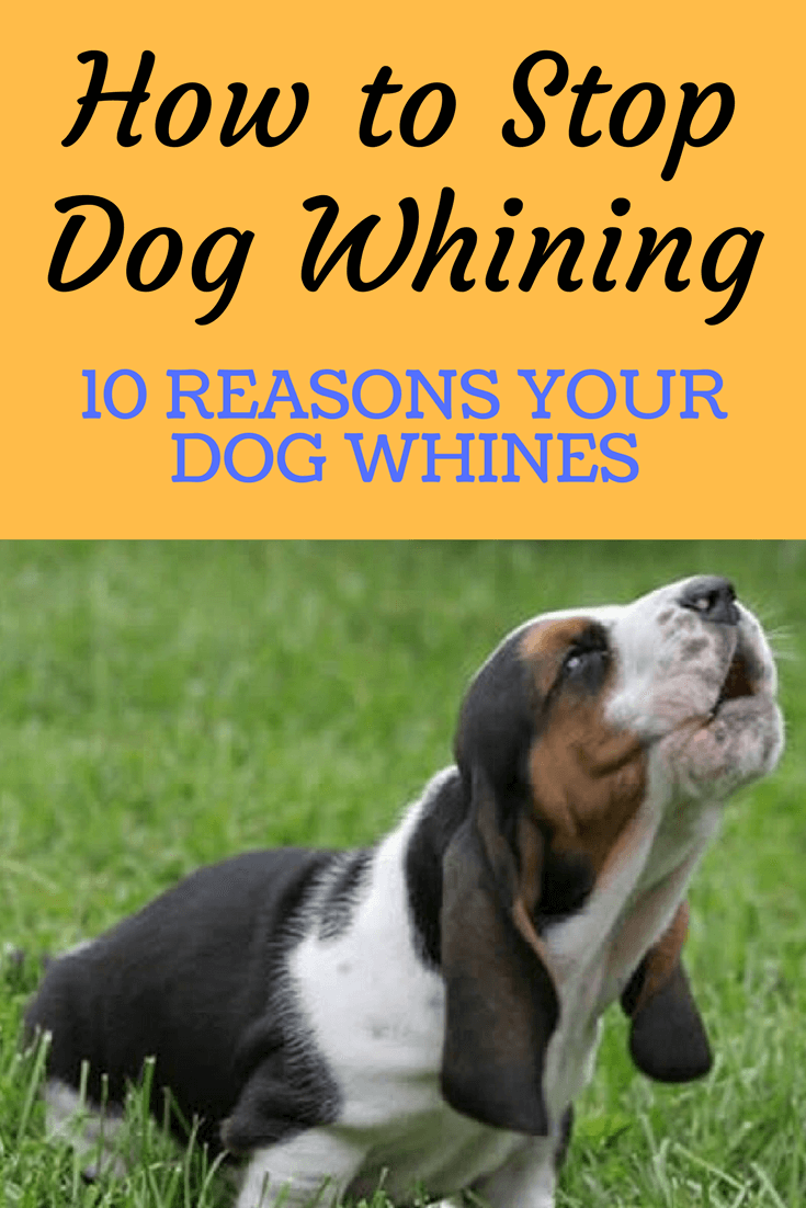 How to Stop Dog Whining [10 Reasons Your Dog Whines