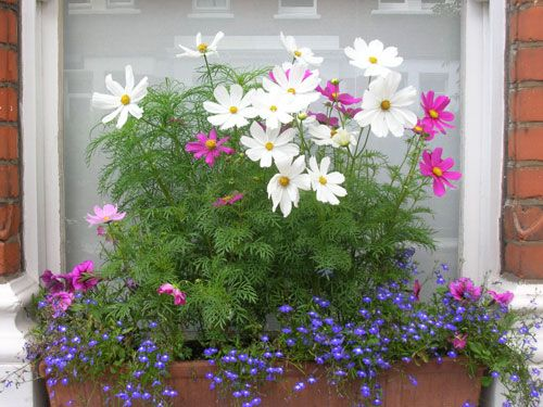 Cosmos Flower Box Height High And Low Plantings Container Flowers Cosmos Flowers Flower Window
