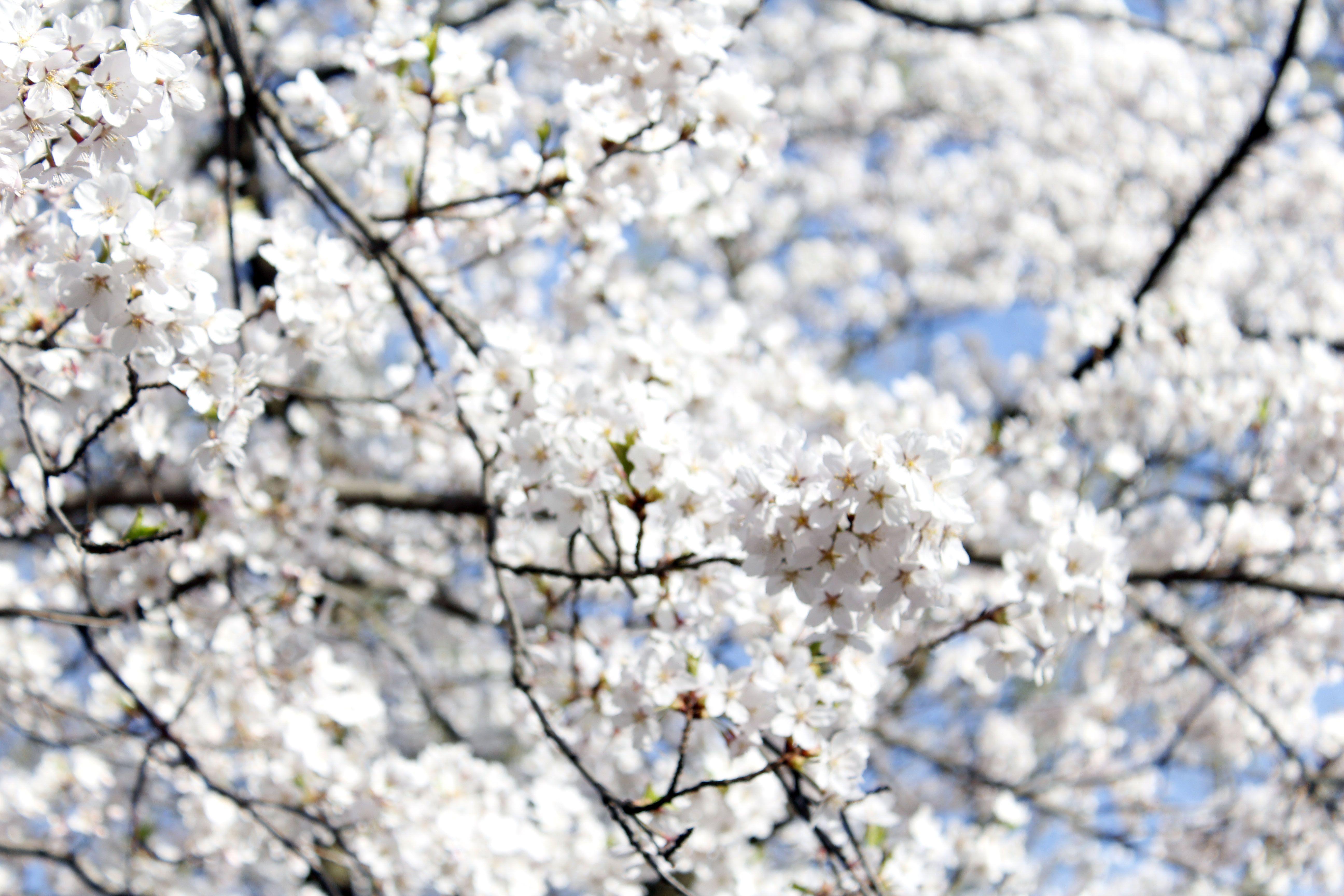 Cherry Blossom White Flower Tree Nature Pretty Photography Flowering Trees White Flowers Blossom