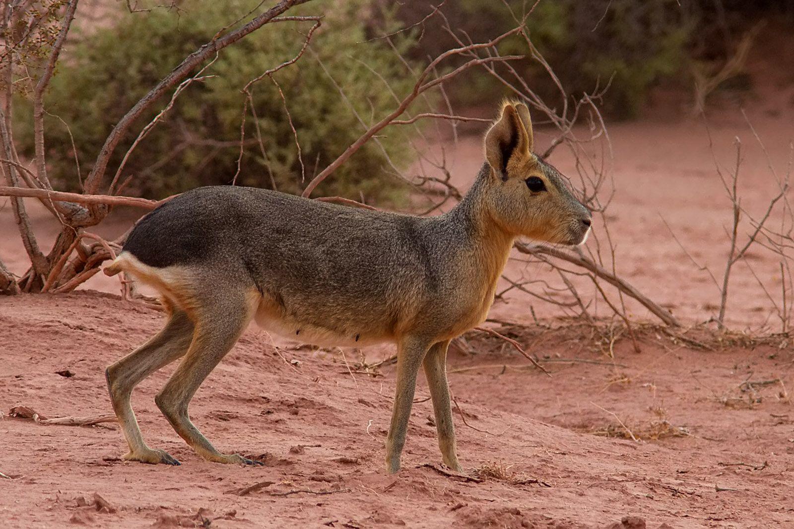 Rodent, Rabbit Lik Animal