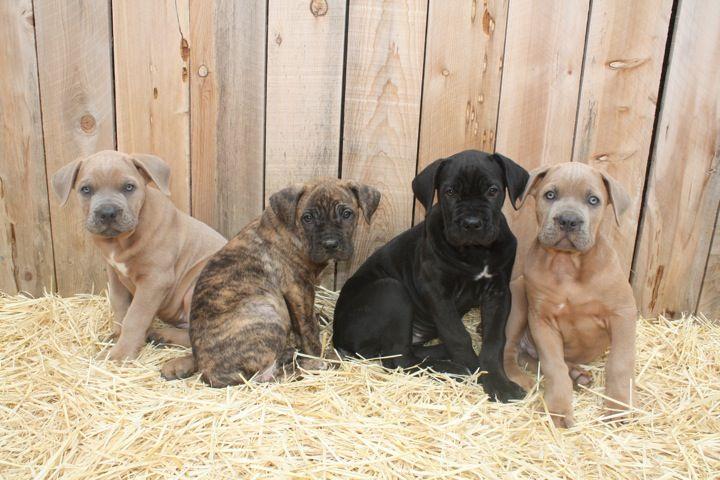 Cane Corso Puppies For Sale Cane Corsos Breeder Kane Ca Cane