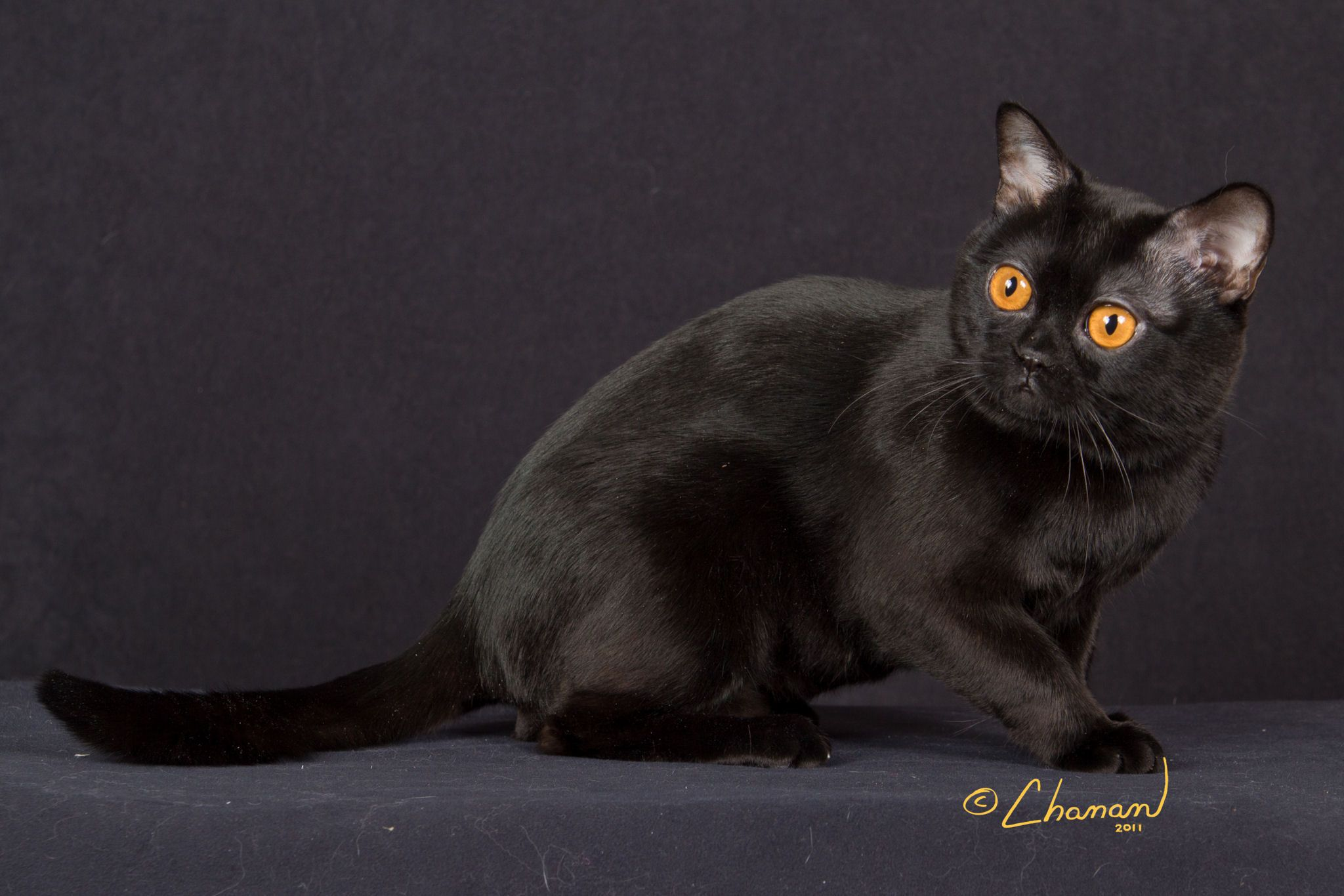Breed Profile The Bombay Cats Cat Years Cat Brain