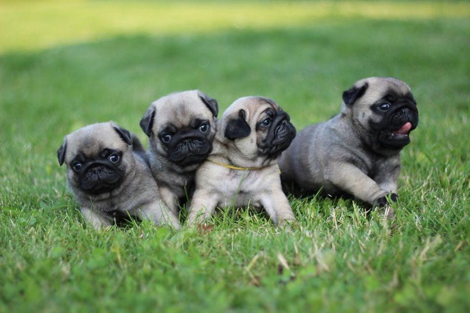 Pug Wallpaper Screensaver Background Baby Pugs Pugs Pugs Funny