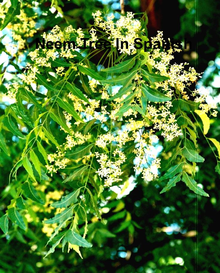 Neem Tree In Spanish Neem Tree In Spanish Fast And Secure Neem Azadirachta Indica Gum Inflammation