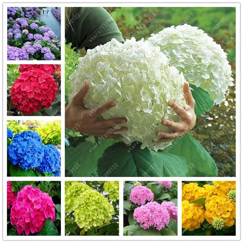 easy to grow no roots 3  cuttings HYDRANGEA FIRE /& ICE Plant