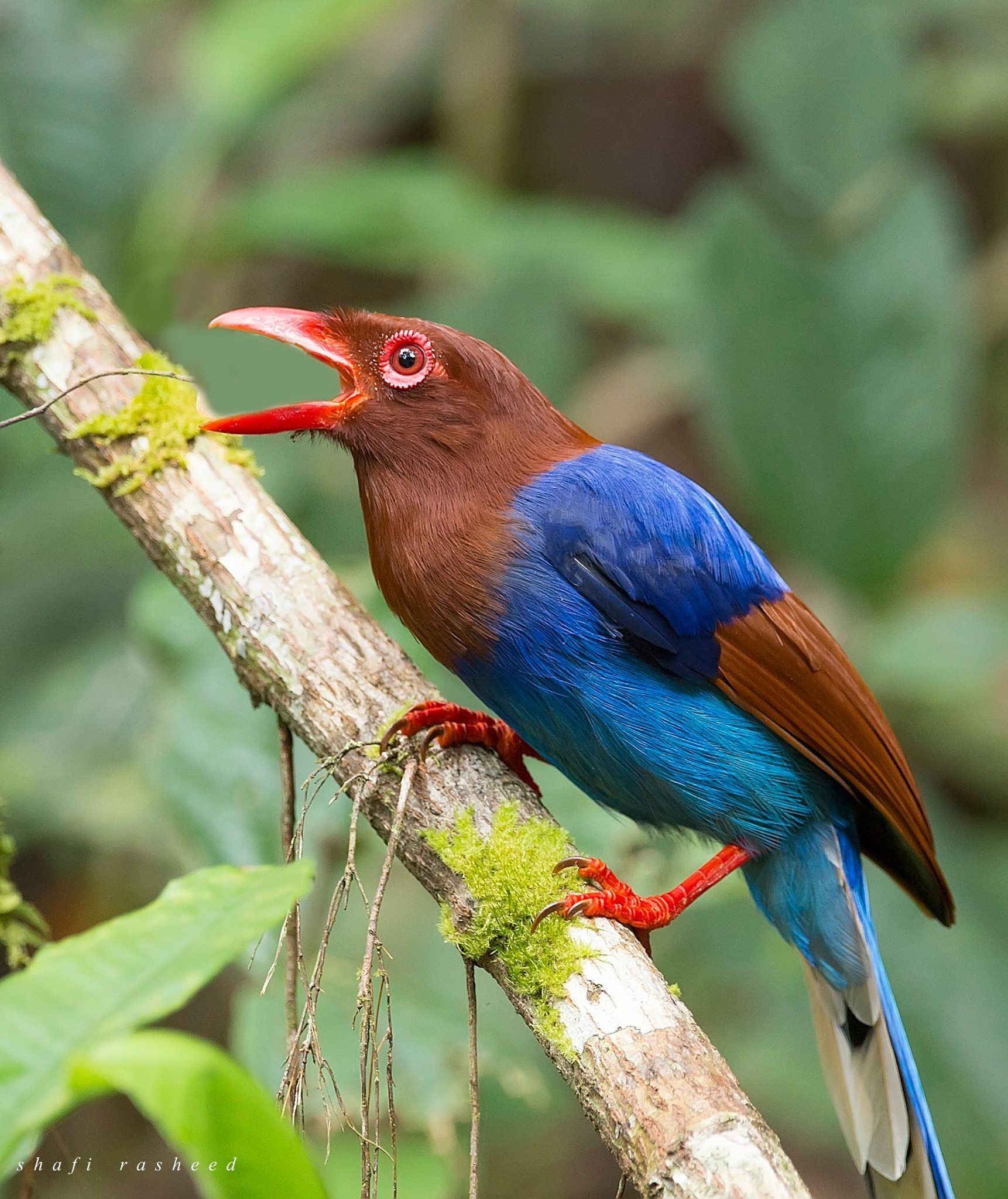 ZAGROS NATURE IMAGES: Sri Lanka Blue Magpie