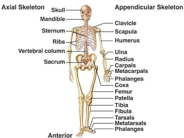 Pin De Jessica Joyce Em Systems Musculoskeletal Corpo Humano Coxas Sistemas Do Corpo Humano