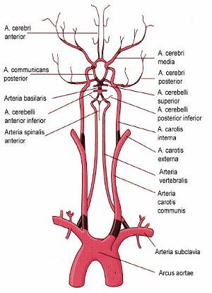 arteria carotis interna cerebri media - Google-Suche | Human Anatomy ...