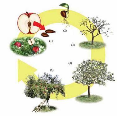 Cycle de vie d 39 un pommier sciences pinterest cycles de vie pommier et cycle - L arbre le pommier ...
