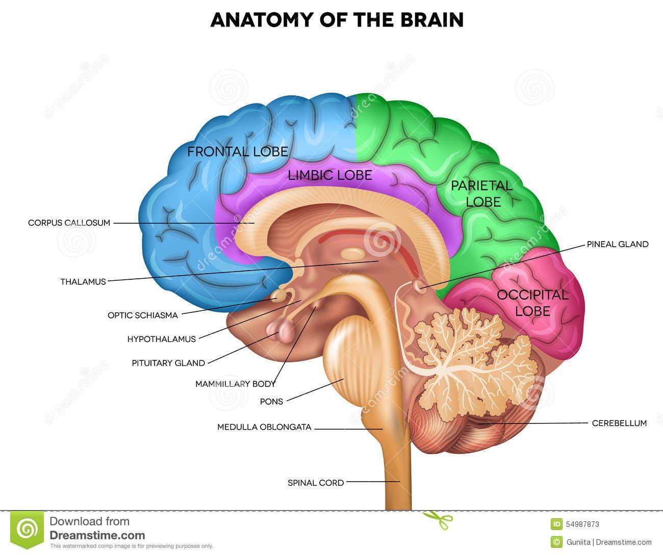 Image result for anatomy of the brain | Spine & Brain | Pinterest ...