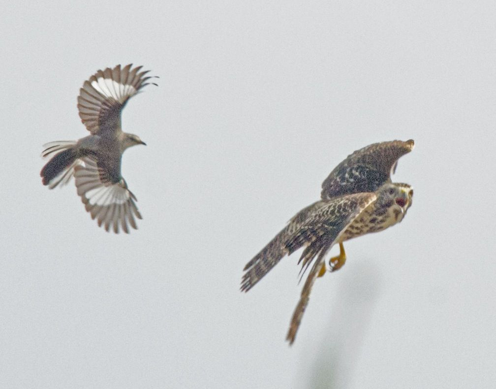 northern mockingbird chasing a red shouldered hawk concord nc