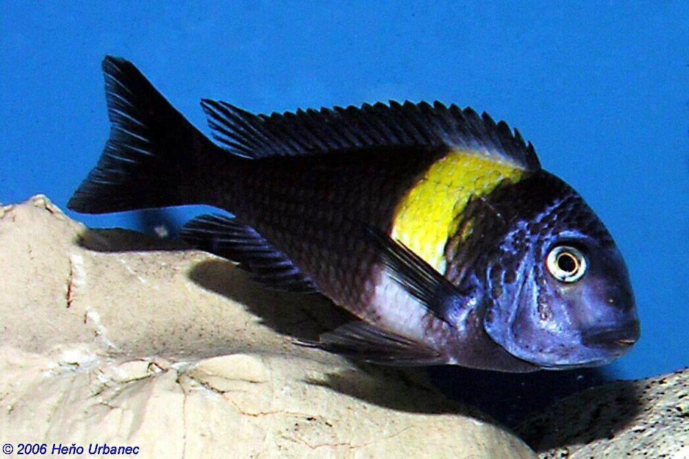 Tropheus Duboisi (want)