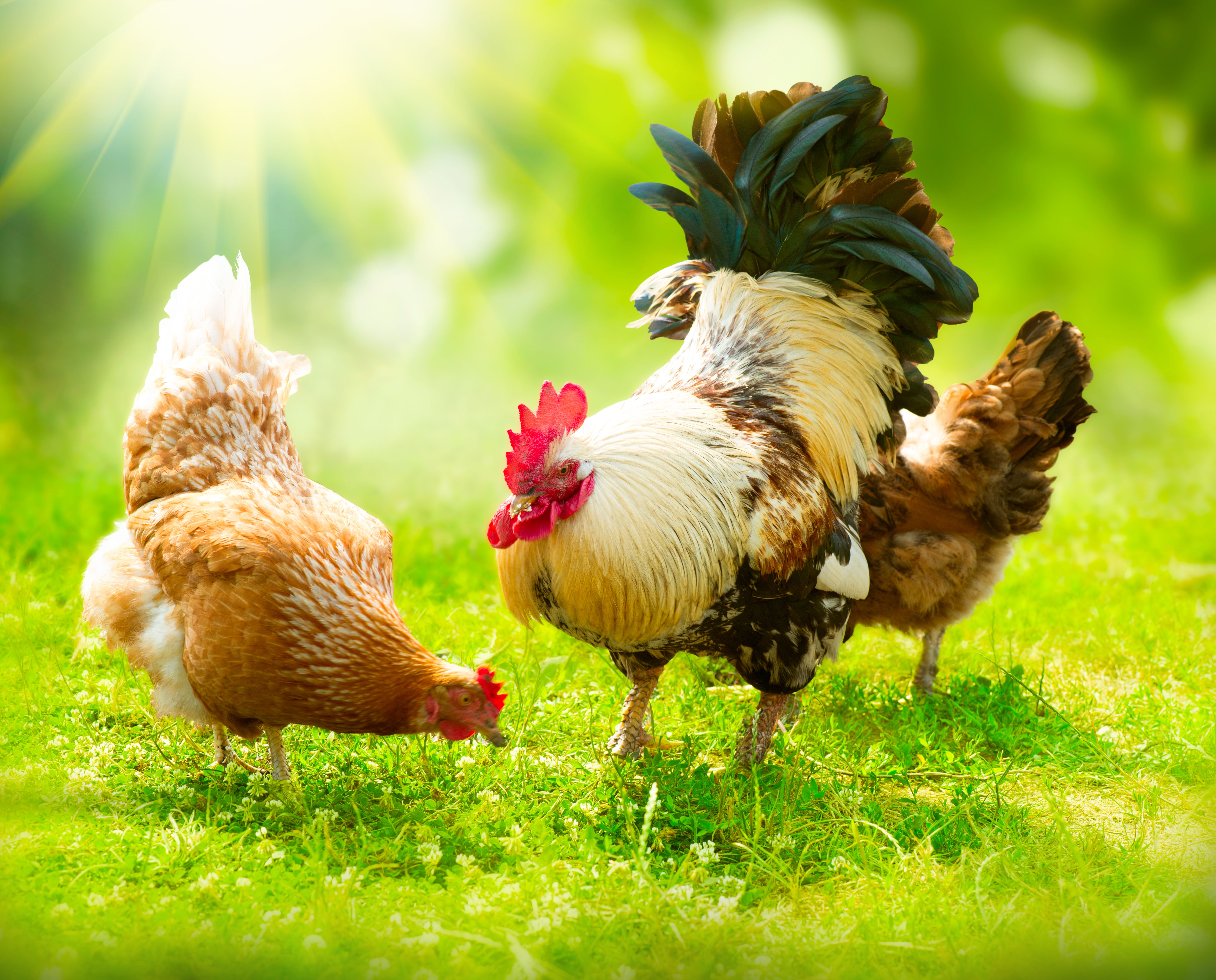 1210 best chickens images on pinterest chicken coops backyard