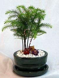 Araucaria Heterophylla Bonsai