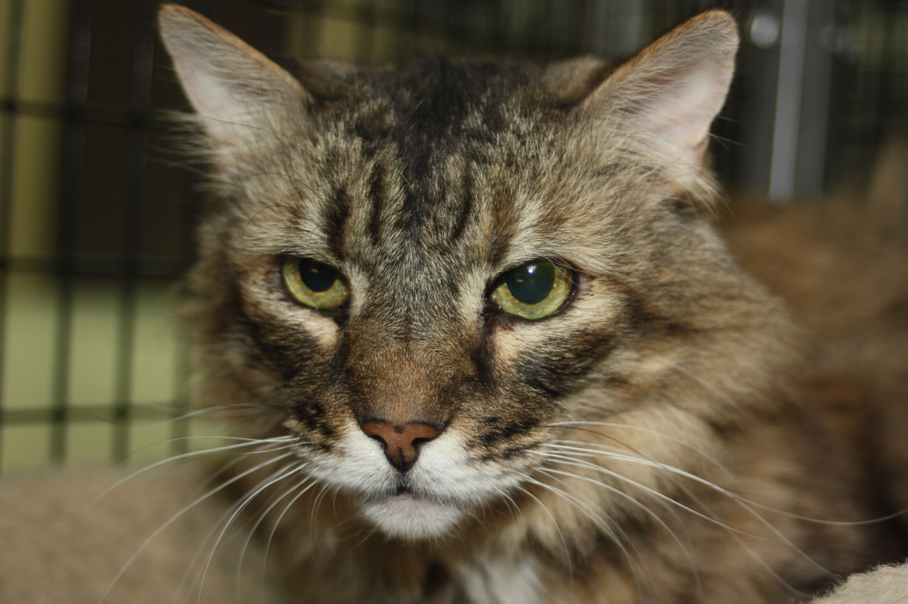 Adopt Mistofous on Petfinder Help homeless pets, Cat
