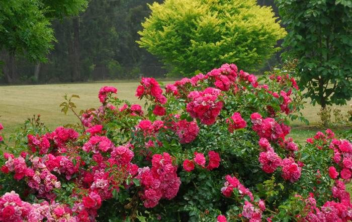 The perfect landscape rose flower carpet pink the original eco the perfect landscape rose flower carpet pink the original eco rose mightylinksfo