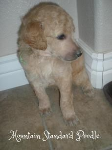 Rolls A Standard Poodle Puppy At 4 Weeks After His First