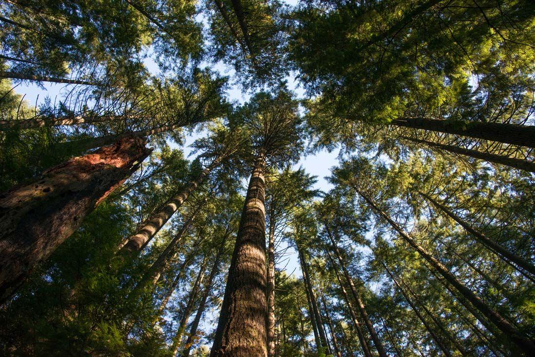 Ancient-Trees-in-Lynn-Canyon-Park.jpg (1100×734) | Lynn canyon, Canyon park, Vancouver photos