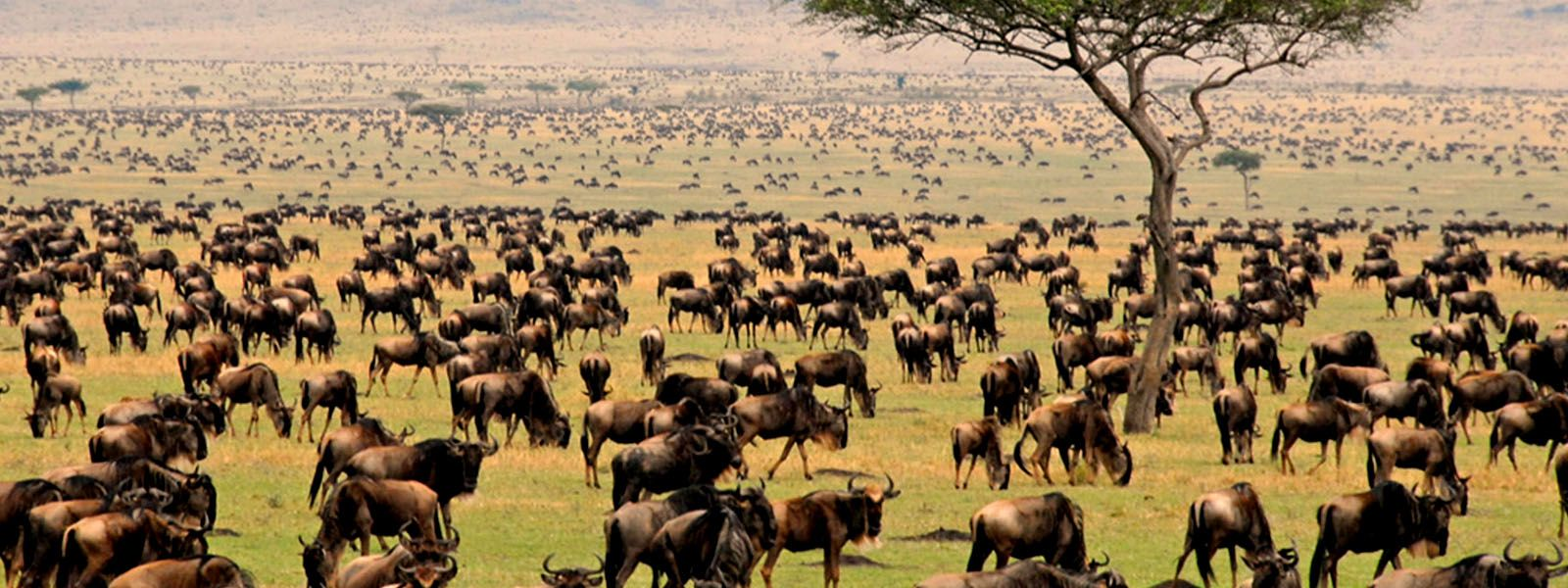 Serengeti Migration Is Hosted In Serengeti Eco System In Tanzania And Kenya The Wildebeest Migration Serves As One Of The Natural Wonders Of The Africa Tours