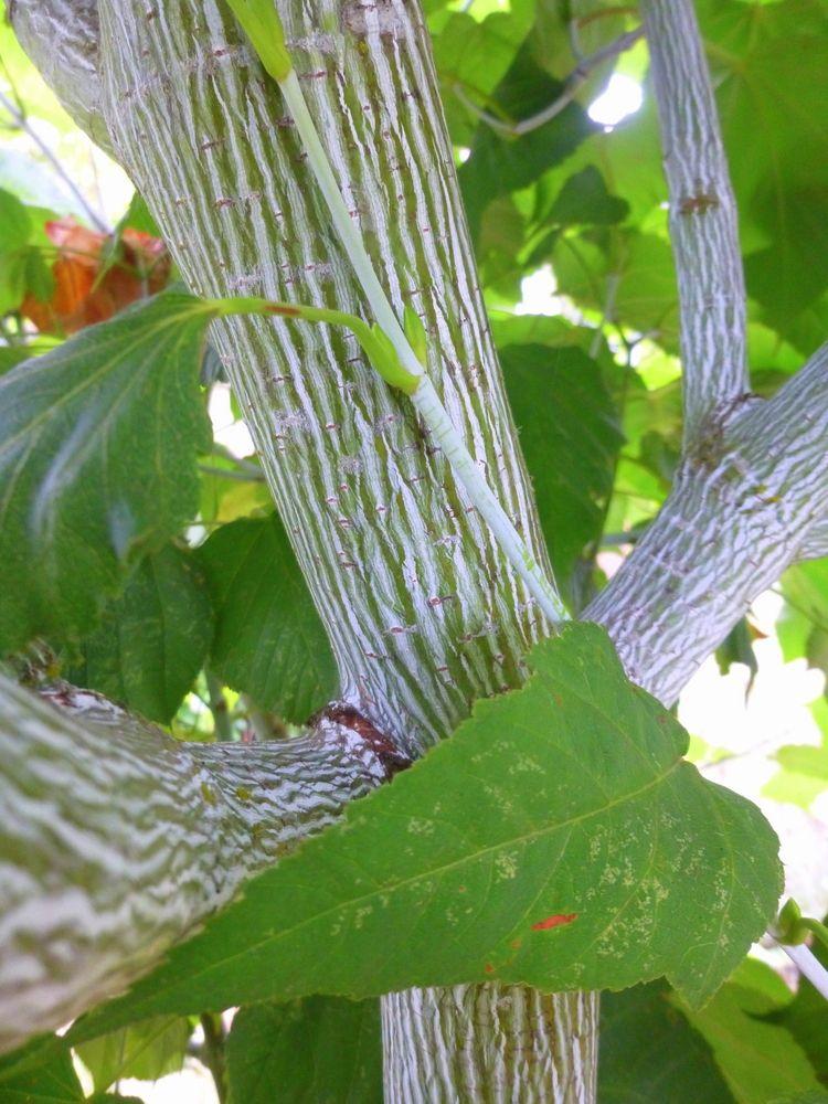 faf24cde1c Joe Witt Manchu Striped Maple | Plant List | Plant nursery, Plants ...