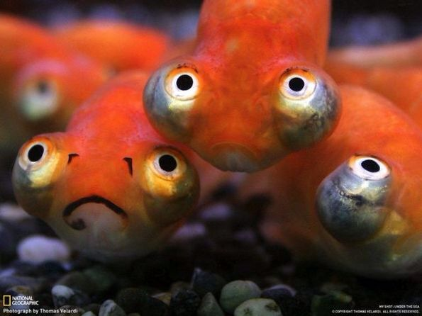 Bulge eyed fish, I have seen these on real live before