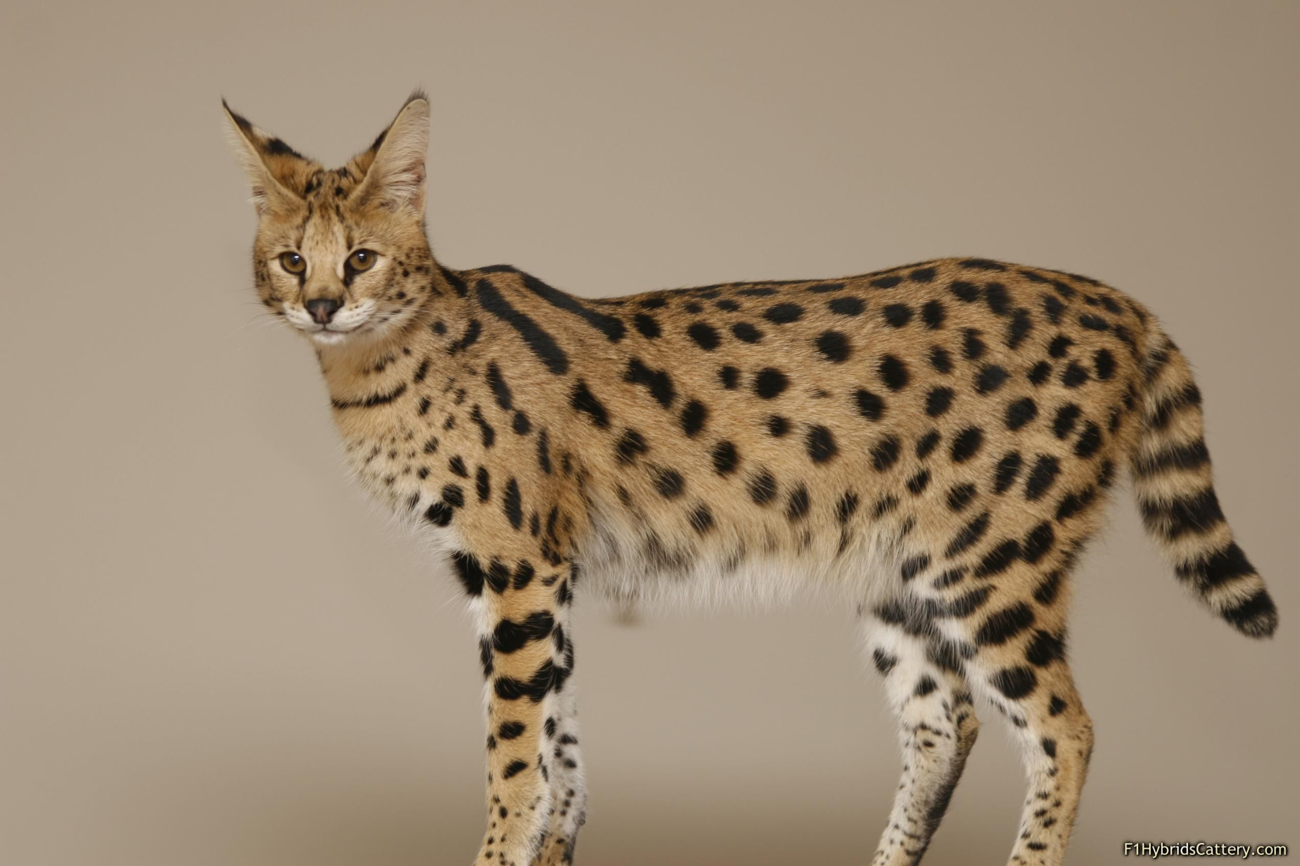 Image result for Savannah Cat
