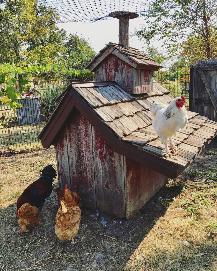 Nice looking small flock. Chicken house, Chicken life