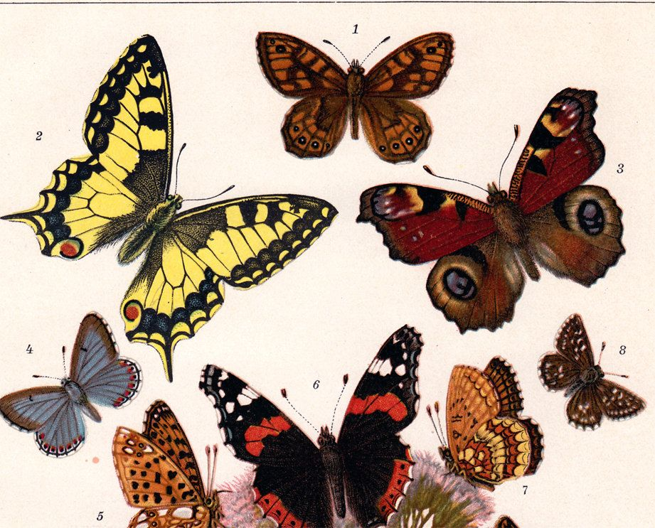 1900s Antique Butterfly Print Colored Butterflies Color Lithograph Via Etsy