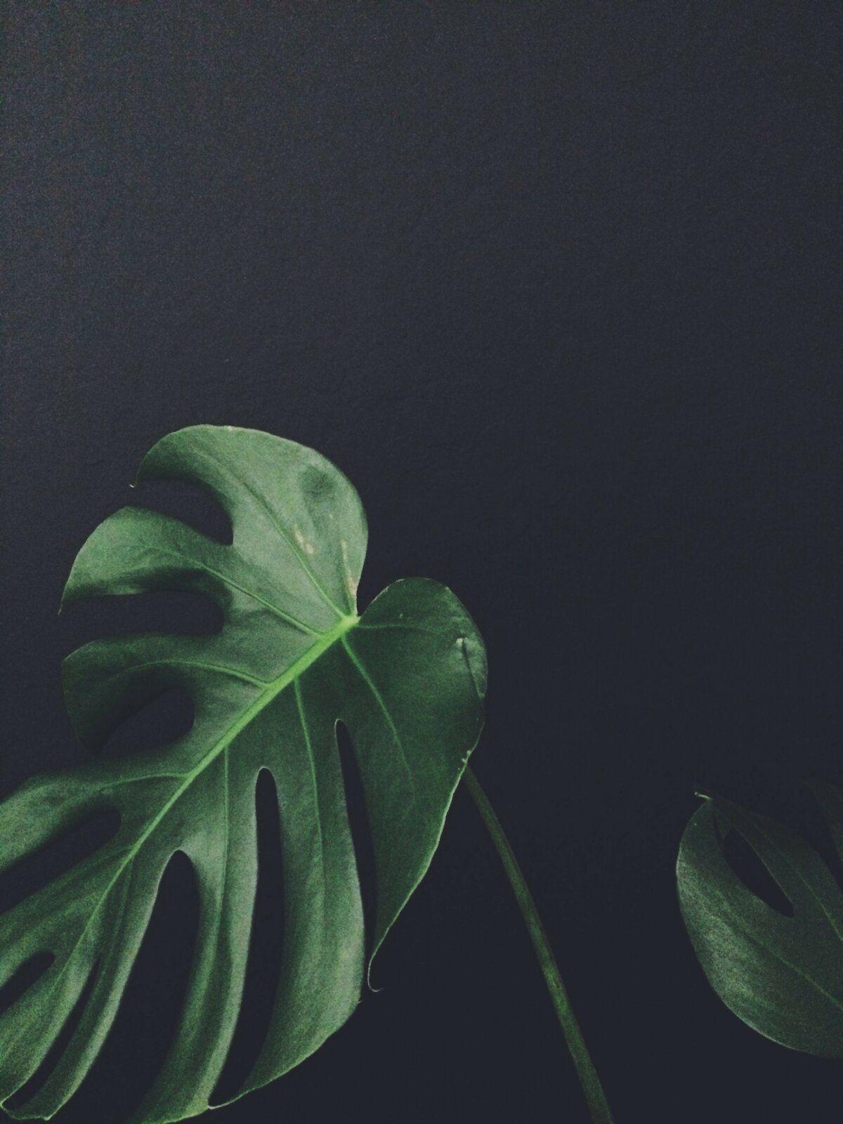 خلفيات طبيعة Nature عالية الوضوح Monstera ورق أوراق شجر 28 Plants Green Plants Planting Flowers