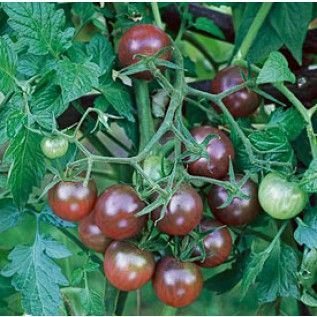 These Are Organic Black Cherry Tomatoes They Only Grow To 400 x 300