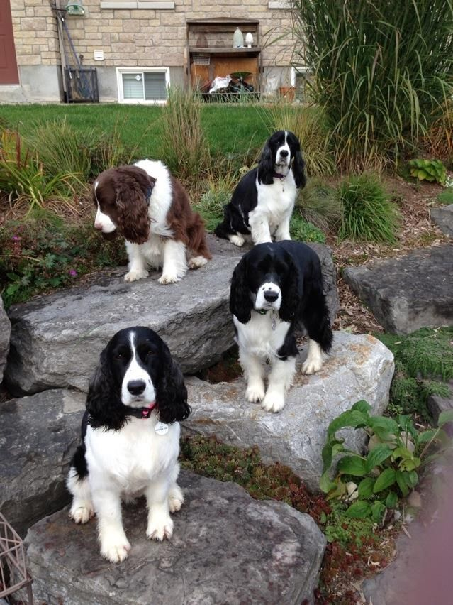 On The Rocks Springer Dog Spaniel Puppies Springer Puppies