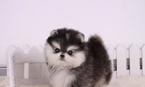 teacup Pomeranian puppy. Holy crap look at that face! Too cute #teacuppomeranianpuppy teacup Pomeranian puppy. Holy crap look at that face! Too cute #teacuppomeranianpuppy teacup Pomeranian puppy. Holy crap look at that face! Too cute #teacuppomeranianpuppy teacup Pomeranian puppy. Holy crap look at that face! Too cute #teacuppomeranianpuppy
