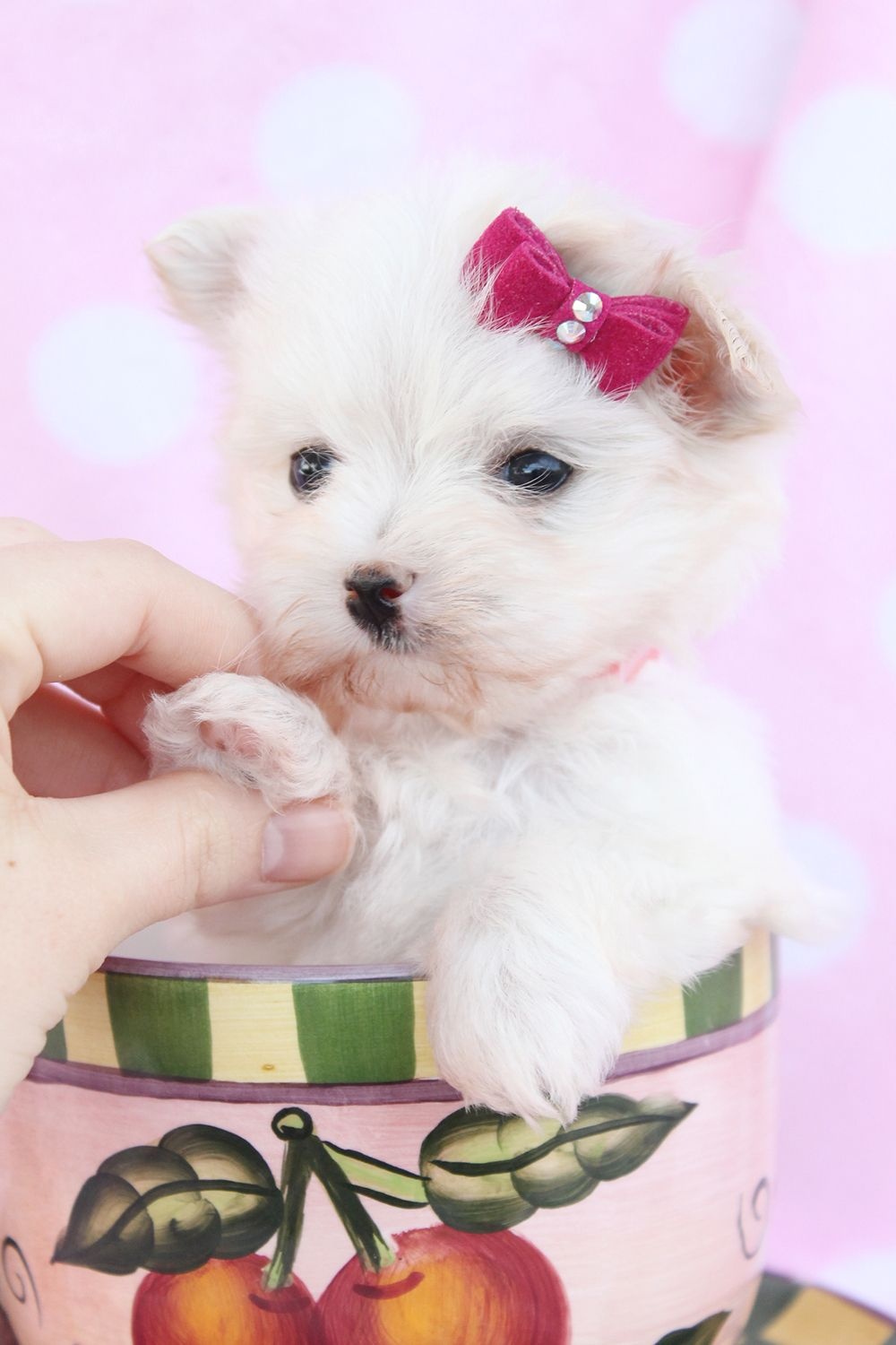 Maltese puppies picture south florida maltese puppy