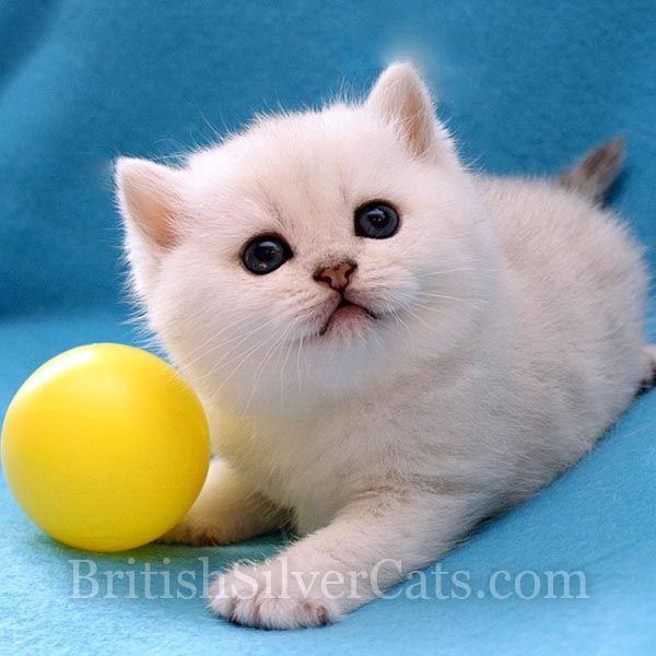 Space Coast Cattery Florida Usa British Silver Shaded Cats