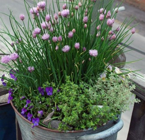 Gardening Tips How To Grow Chives Including How To Plant Your Chive Seedlings How To Plant Chives In Pots H Organic Vegetable Garden Growing Chives Plants
