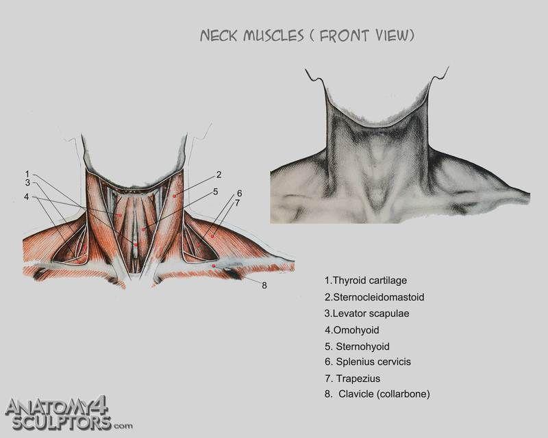Anatomía Cuello | ReferencesOfAnatomy | Pinterest | Anatomía, Dibujo ...
