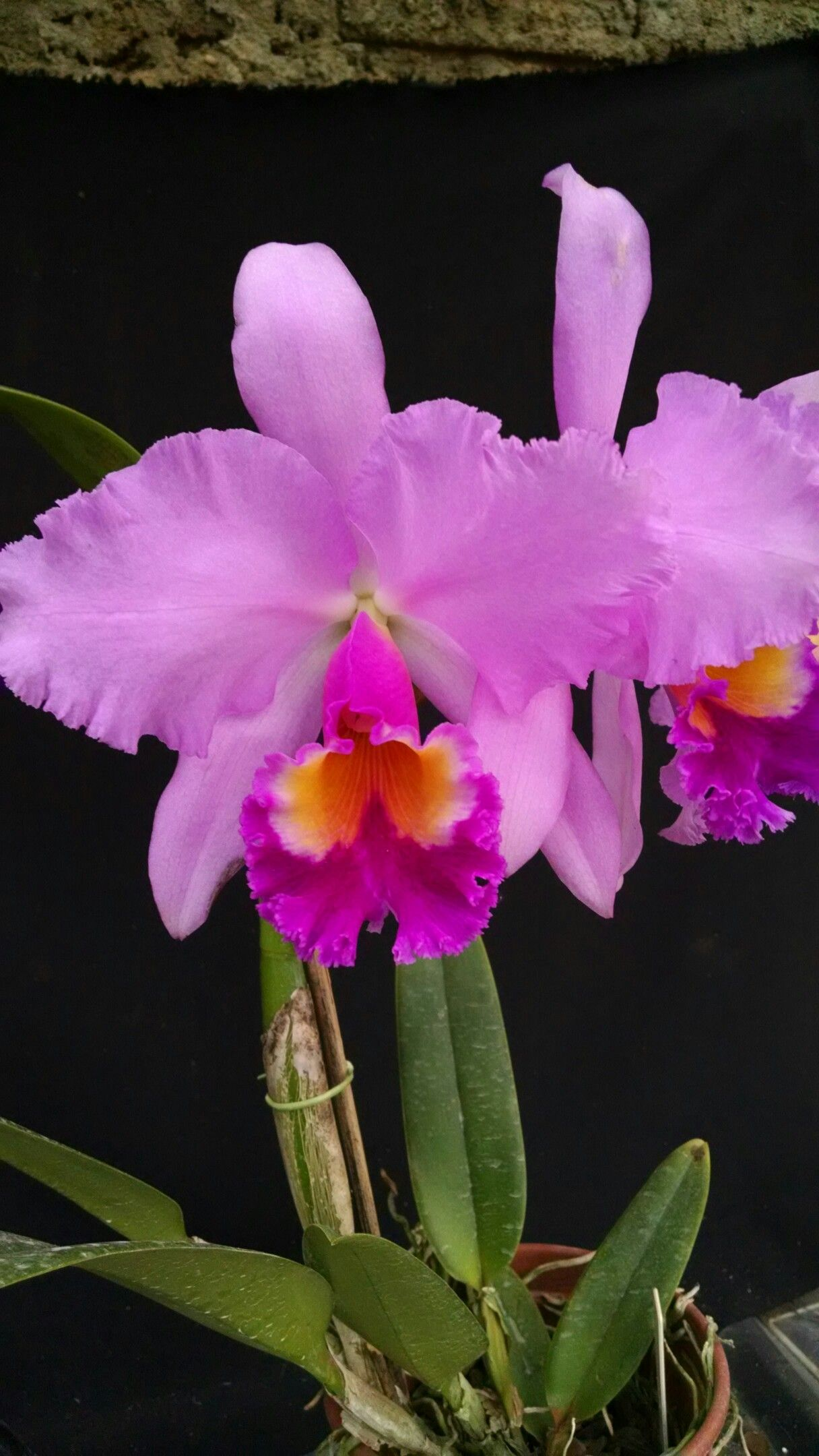 Blc Mikki Nagata X Aba Balmores Orchid Flower Chinese Money Plant Orchid Photo