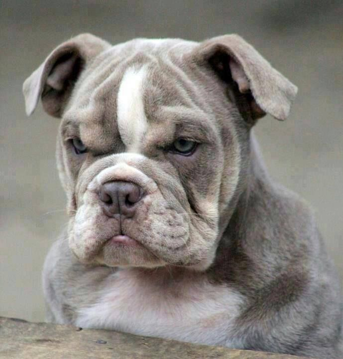 Old English Bull Dog Bulldog Puppy Dogs Grumpy Dog Bulldog
