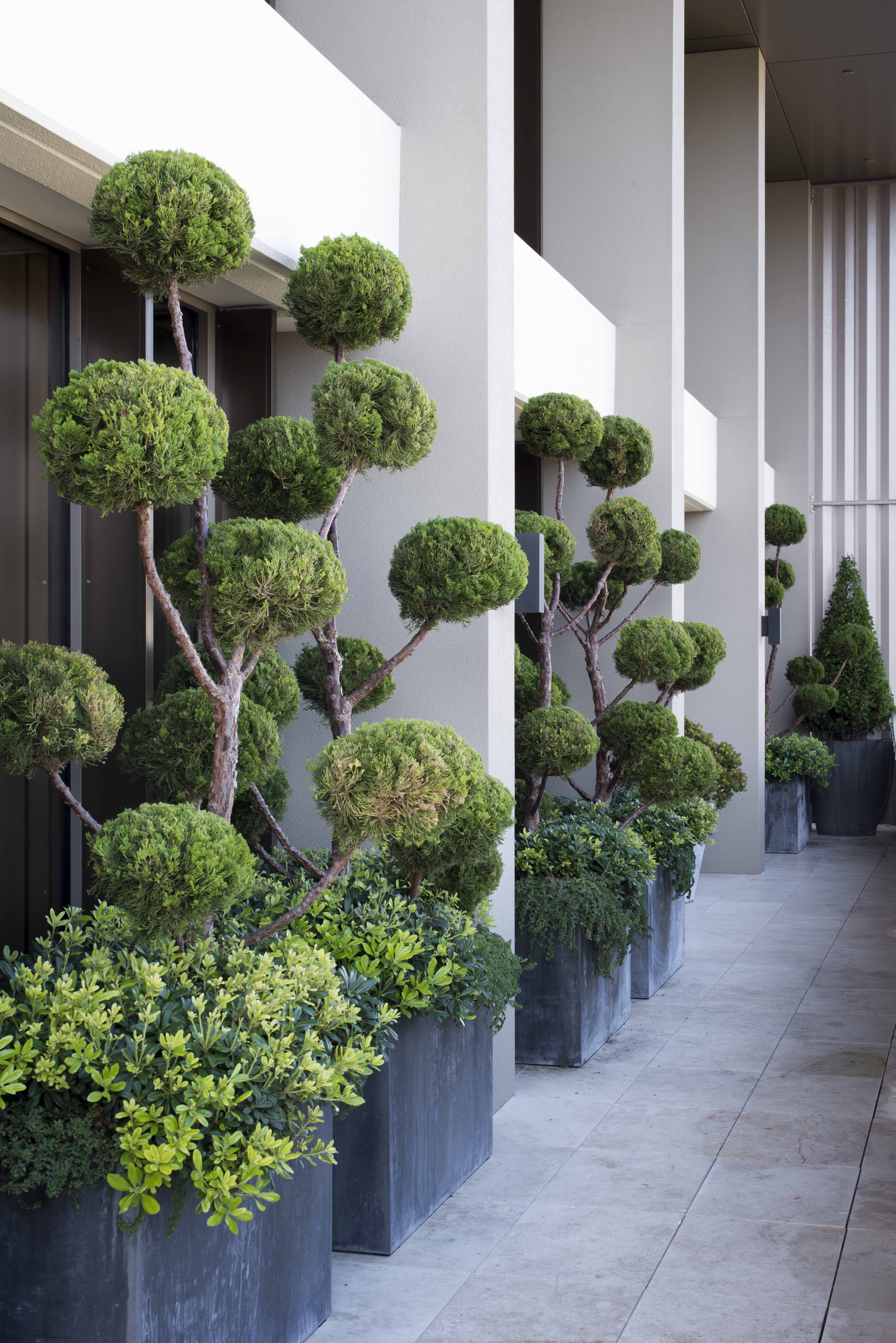 Balcony Design In The City Cloud Tree Adds Drama To Any Space Garden Design Front Garden Architectural Plants