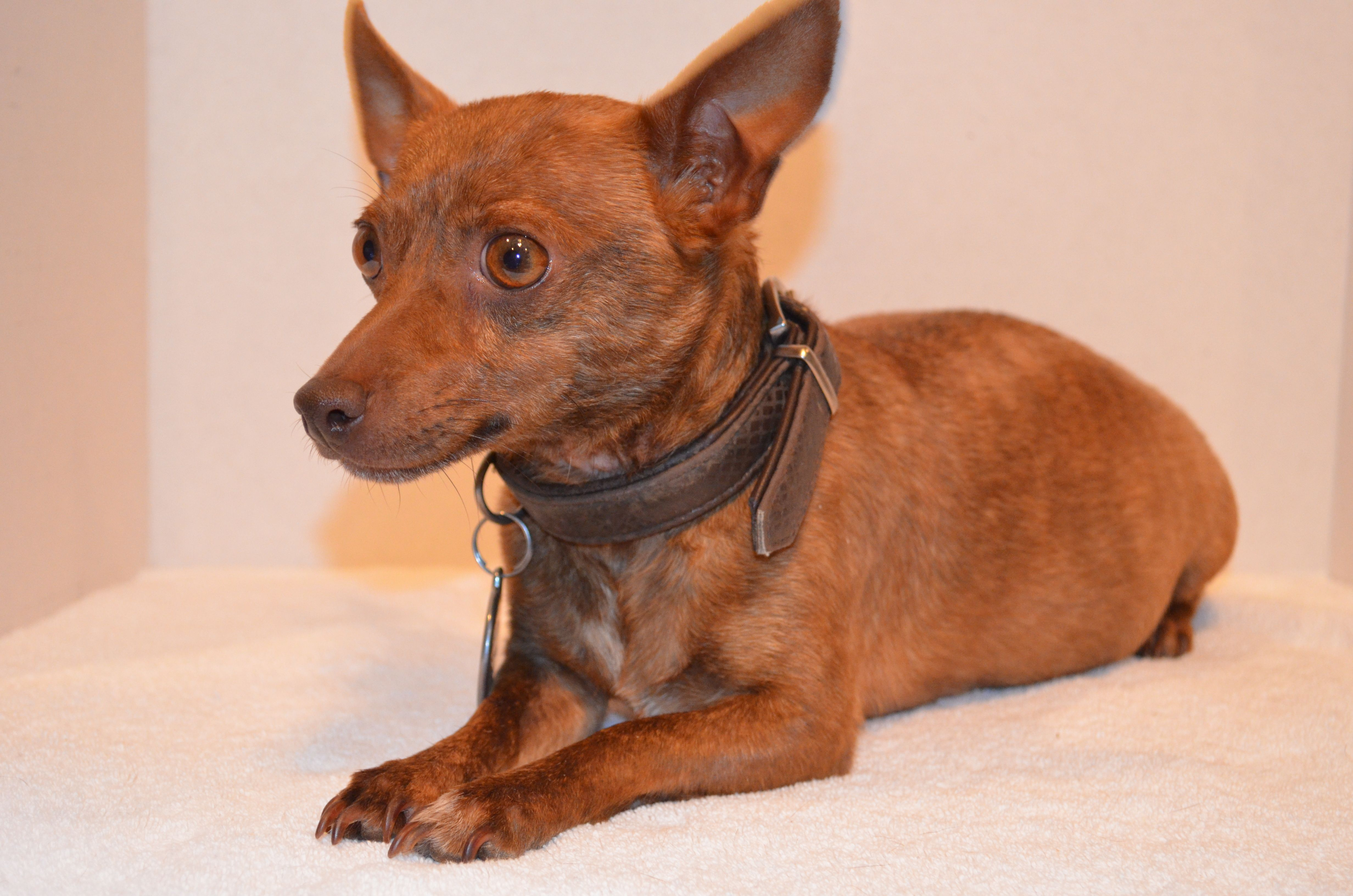 5280 Bristol Chocolate Brindle Rat Terrier Puppies Lap Dogs