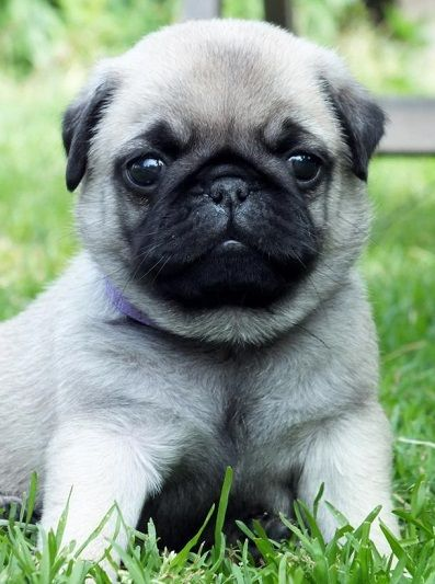 Cute Pug Puppy Cute Pugs Cute Pug Puppies Cute Animals