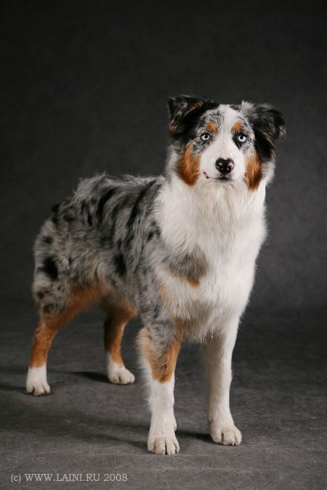 Australian Shepherd- typical cooper expression
