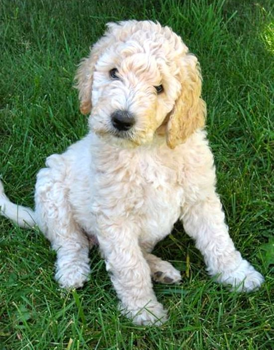 Curly Q Snoodle Puppies Schnoodle Labradoodle Vs Goldendoodle