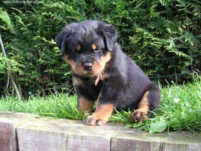 Chiot Rottweiler Rottweiler Puppies Cute Animals Fluffy Puppies